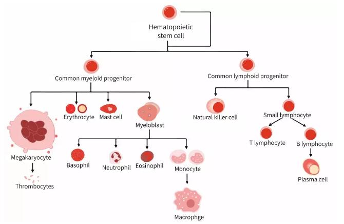 免疫细胞是生命宝藏,免疫系统是身体的守护者